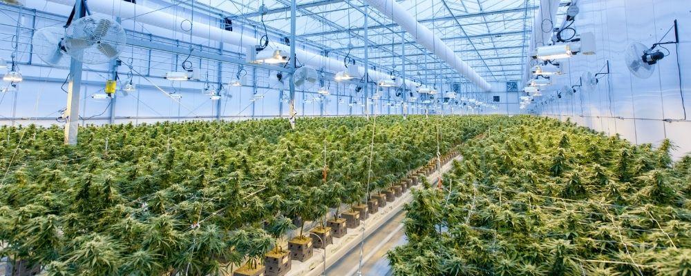 Australian Cannabis Industry